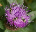 dancing bugs on knapweed